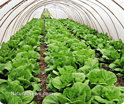 $300 underground greenhouse grows produce year-round, even in severe climates | GMOs & FOOD, WATER & SOIL MATTERS | Scoop.it