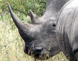 Arrested: Irish rhino smugglers had fake €120k   What's Happening to Africa's Rhino?   Scoop.it