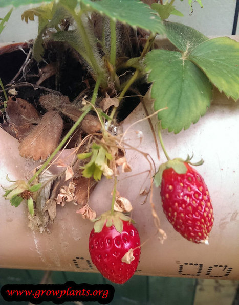 Alpine strawberry - growing | Grow Plants | Gardening is more than Digging the Dirt | Scoop.it