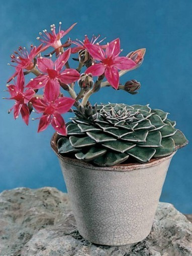 Graptopetalum bellum – Chihuahua Flower | World of Succulents | Succulents | Scoop.it