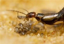 Sibling cooperation in earwig families provides clues to the early evolution of social behavior | Psychology, Sociology & Neuroscience | Scoop.it