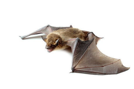 Decades of bat observations reveal uptick in new causes of mass mortality | Bat Biology and Ecology | Scoop.it