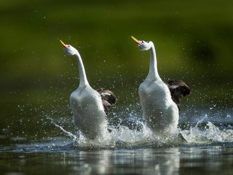 """#Grebes  """"Walk"""" on #Water to Impress Mates ~  #Wildlife 