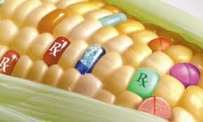OGM: un rapport qui ne clôt pas le débat | Le Quotidien Jurassien | Abeilles, intoxications et informations | Scoop.it