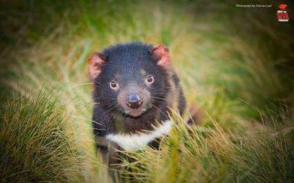 Natural antibodies could combat Tasmanian devil cancer | Amazing Science | Scoop.it