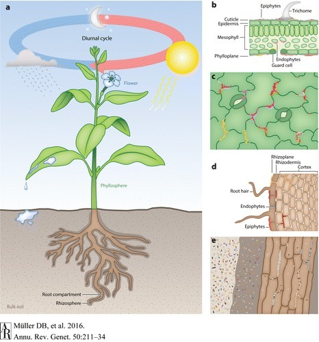 The Plant Microbiota: Systems-Level Insights and Perspectives - Annual Review of Genetics, 50(1):211 | Plant roots and rhizosphere | Scoop.it