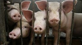 Pig proteins may help dementia patients, study finds - Fox News | TECHNOLOGY AND PUBLIC HEALTH | Scoop.it