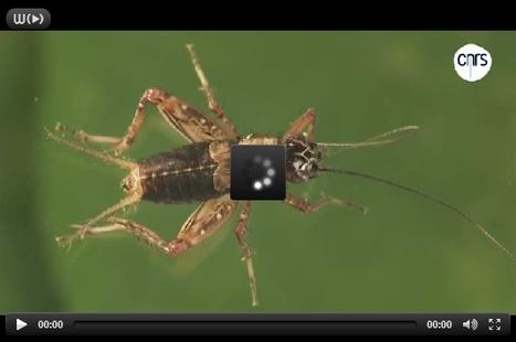 Grillon des bois, propagation d'ondes dans l'air | EntomoScience | Scoop.it