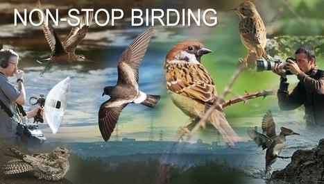 Non-Stop Birding: Azores, Corvo 2013 trip, Day One   Azores   Scoop.it