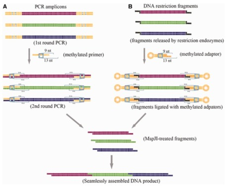 The MASTER (methylation-assisted tailorable ends rational) ligation method for seamless DNA assembly | SynBioFromLeukipposInstitute | Scoop.it