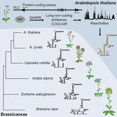 COOLAIR Antisense RNAs Form Evolutionarily Conserved Elaborate Secondary Structures | Emerging Research in Plant Cell Biology | Scoop.it