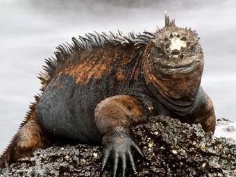 Marine Iguanas, Marine Iguana Pictures, Marine Iguana Facts - National Geographic | Animal Conservation - Iguana (Marine) | Scoop.it