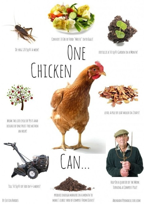 8 Ways to Use Chickens in the Garden | The Prairie Homestead | Think Like a Permaculturist | Scoop.it