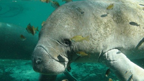 5 Reasons Why We Absolutely Need To #Save #Florida's #Manatees | Rescue our Ocean's & it's species from Man's Pollution! | Scoop.it