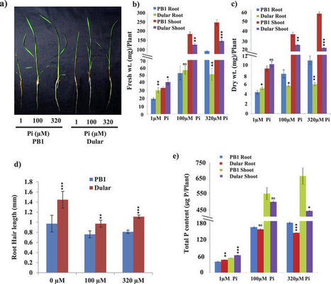 Sci Rep: Genome-wide DNA polymorphisms in low Phosphate tolerant and sensitive rice genotypes | Plant phosphate nutrition | Scoop.it