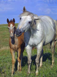 Horse-Breeding Problems: Dystocia – America's Horse Daily | all things horsey | Scoop.it