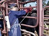 Cattle health and disease | NSW Department of Primary Industries | Animal Health and Welfare | Scoop.it