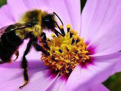 Farmers face a £1.8bn sting from death of the honeybee | BIOSCIENCE NEWS | Scoop.it
