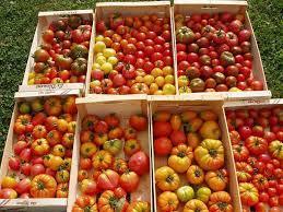 Tunisie - Agriculture : 126 mille tonnes de tomate cette saison à Sidi Bouzid - WMC | Fruits & légumes à l'international | Scoop.it