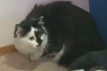 Gato atemoriza a familia en Oregón EE.UU.   En el Dédalo   Scoop.it