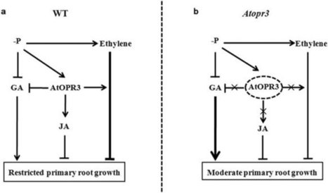 Nature, scientific reports: AtOPR3 specifically inhibits primary root growth in Arabidopsis under phosphate deficiency | Plant phosphate nutrition | Scoop.it