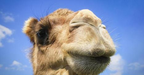 You have no idea where camels really come from   Lauri's Environment Scope   Scoop.it