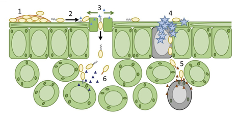 Mol Plant Path: Bacterial pathogenesis of plants: Future challenges from a microbial perspective (2016) | Publications from The Sainsbury Laboratory | Scoop.it