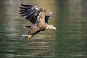 Driven to extinction, reintroduced ... now wind farms threaten sea eagles   Herald Scotland   British Birds of Prey   Scoop.it