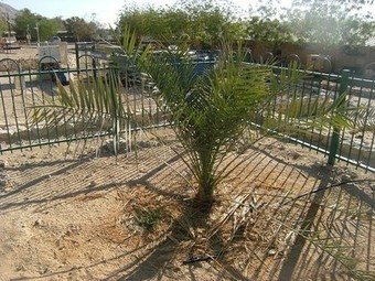Extinct tree grows anew from ancient jar of seeds unearthed by archaeologists | Visiting The Past | Scoop.it
