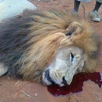 Save Our Lions | Nature Animals humankind | Scoop.it
