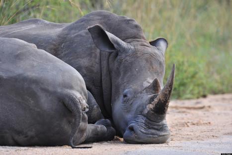 Suspected Rhino Poachers Shot Dead In South Africa | Rhino Poaching South Africa  & Accross the Globe | Scoop.it