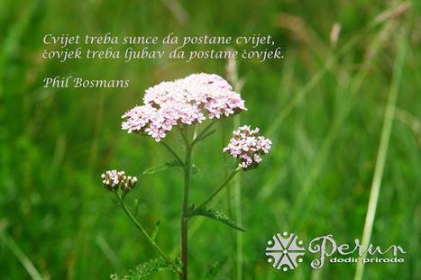 Perun - dodir prirode: Stolisnik - hajdučka trava | ЛЕКОВИТО БИЉЕ | Scoop.it