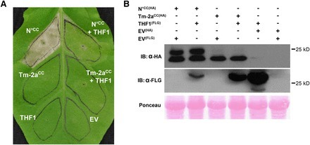 The Chloroplastic Protein THF1 Interacts with the Coiled-Coil Domain of the Disease Resistance Protein N′ and Regulates Light-Dependent Cell Death | Plant-Microbe Interaction | Scoop.it