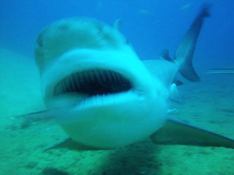 plongee requins | plongee scuba diving tec diving | Scoop.it