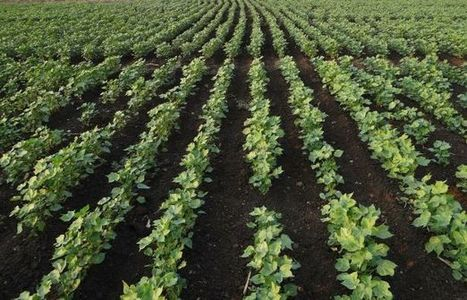 'Tough Phase' for Cotton Growers, UA Dean Says | UANews | CALS in the News | Scoop.it