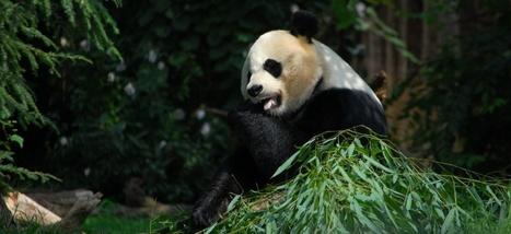 Et si les pandas étaient en voie de disparition à cause de leur flore intestinale? | Biodiversité | Scoop.it