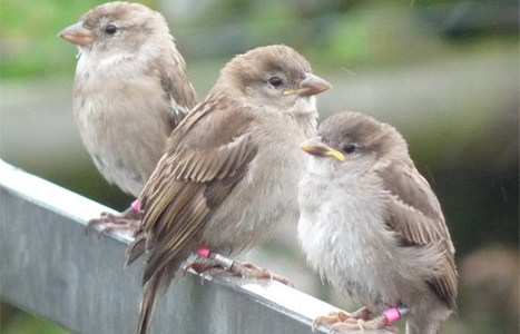 Baby birds suffering as parents cannot hear chicks' crying for hunger in noisy environments - News releases - News - The University of Sheffield | Ethology | Scoop.it
