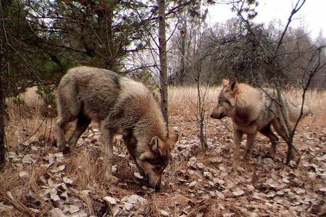 Chernobyl is to become a UNESCO Biosphere Reserve and a wilderness | FILOSOFIA | Scoop.it