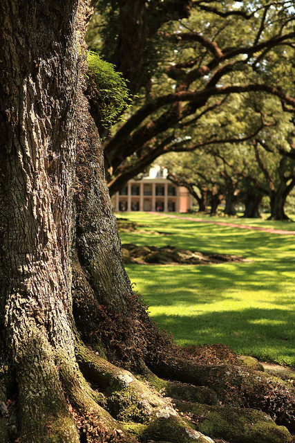One of the big oak trees | Oak Alley Plantation: Things to see! | Scoop.it
