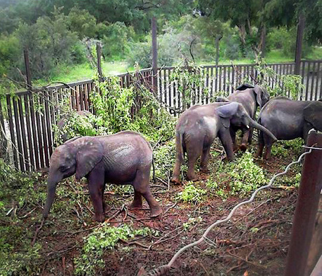 Undercover Pics of Baby Elephants Reveal the Trauma of Capture and Captivity | Wildlife Trafficking: Who Does it? Allows it? | Scoop.it