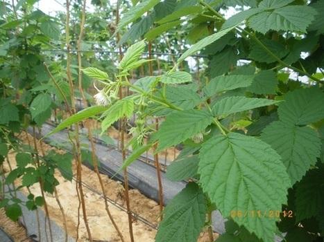 Los NO-problemas de las berries onubenses - Chil | El reto de la nueva agricultura | Scoop.it