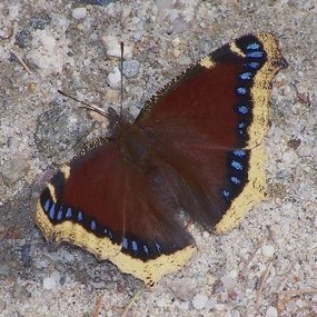 The Myth-Busting Mourning Cloak | In and About the News | Scoop.it