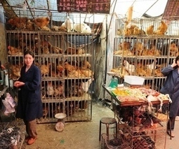 The end of H7N9? No new bird flu cases reported in over a week   Virology and Bioinformatics from Virology.ca   Scoop.it
