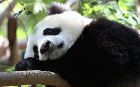 Pandas at risk from Chinese vineyards | Year 11 Geography | Scoop.it