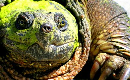 "Artists Get Surprise ""Thanks"" During Rescue of Snapping Turtle 