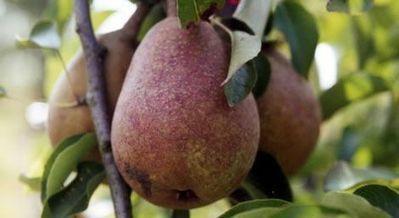 Appelfiguur is niet ongezonder dan peerfiguur | Voeding en gezondheid | Scoop.it