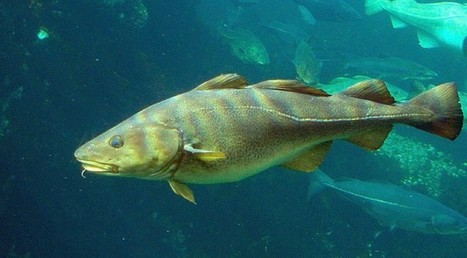 As Oceans Warm, Fish Are Finding New ZIP Codes | Climate Central | Sustain Our Earth | Scoop.it