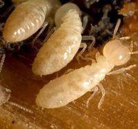 Termite Inspection | Termite Services Sydney | Scoop.it