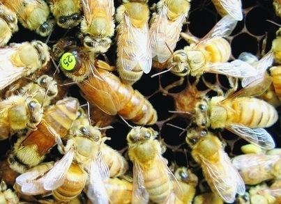 Des scientifiques au chevet des abeilles - La Croix | Abeilles, intoxications et informations | Scoop.it