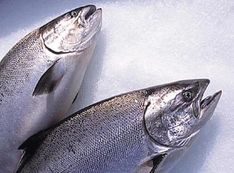 FSA calms fears over dioxins in Baltic salmon | In Deep Water | Scoop.it
